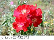 Купить «Красные розы в саду», фото № 23432743, снято 27 июля 2016 г. (c) Ирина Носова / Фотобанк Лори