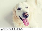 Купить «close up of golden retriever dog», фото № 23433075, снято 19 июля 2015 г. (c) Syda Productions / Фотобанк Лори
