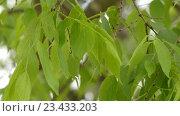 Купить «Celtis australis or European nettle tree», видеоролик № 23433203, снято 27 апреля 2016 г. (c) BestPhotoStudio / Фотобанк Лори
