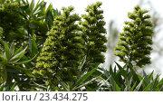 Купить «Echium acanthocarpum in family of Boraginaceae», видеоролик № 23434275, снято 27 апреля 2016 г. (c) BestPhotoStudio / Фотобанк Лори