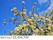 Купить «Ветки цветущей яблони на фоне синего неба солнечным днём», фото № 23434799, снято 22 мая 2016 г. (c) Максим Мицун / Фотобанк Лори