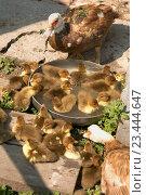 Утки с утятами. Стоковое фото, фотограф Goruppa / Фотобанк Лори