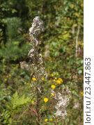 Сухое растение Иван-чая. Стоковое фото, фотограф Константин Пекарь / Фотобанк Лори
