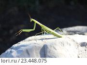 Богомол. Стоковое фото, фотограф Сергей Плохов / Фотобанк Лори