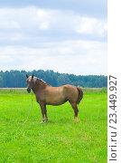 Лошадь пасется на лугу, Беларусь (2013 год). Стоковое фото, фотограф Владимир Сорокин / Фотобанк Лори