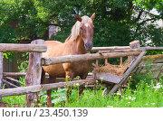 Лошадь за изгородью, Гомельский район, Беларусь (2013 год). Стоковое фото, фотограф Владимир Сорокин / Фотобанк Лори