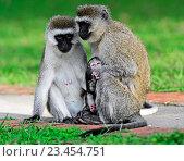 Купить «Верветки. Семья обезьян», фото № 23454751, снято 4 января 2012 г. (c) Эдуард Кислинский / Фотобанк Лори