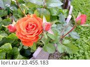 Красивая роза расцвела в подмосковном саду (2012 год). Стоковое фото, фотограф Иван Орехов / Фотобанк Лори