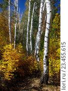 Купить «Береза. Осень. Дерево», фото № 23455615, снято 17 февраля 2019 г. (c) Дмитрий Третьяков / Фотобанк Лори