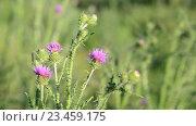 Купить «Цветок чертополоха на лугу в летний день», видеоролик № 23459175, снято 1 июля 2016 г. (c) Володина Ольга / Фотобанк Лори