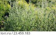 Купить «Цветок чертополоха на лугу в летний день», видеоролик № 23459183, снято 1 июля 2016 г. (c) Володина Ольга / Фотобанк Лори
