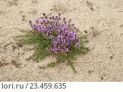 Купить «Чабрец (тимьян или богородская трава) растет на песчаной почве», эксклюзивное фото № 23459635, снято 13 августа 2016 г. (c) Svet / Фотобанк Лори