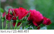 Купить «Куст красных роз в саду», видеоролик № 23460451, снято 30 июня 2016 г. (c) Володина Ольга / Фотобанк Лори
