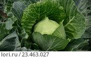 Купить «Кочан капусты в саду», видеоролик № 23463027, снято 12 июля 2016 г. (c) Володина Ольга / Фотобанк Лори