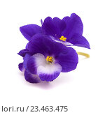 Купить «Цветы темно-синей фиалки на белом фоне», фото № 23463475, снято 27 августа 2016 г. (c) Tamara Kulikova / Фотобанк Лори