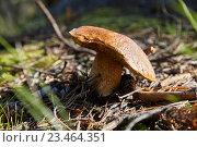 Белый гриб в лесу. Стоковое фото, фотограф Дмитрий Наумов / Фотобанк Лори