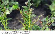 Купить «Личинки колорадского жука на кустах картофеля», видеоролик № 23476223, снято 21 июня 2016 г. (c) Володина Ольга / Фотобанк Лори