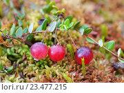 Купить «Три ягоды клюквы крупным планом», эксклюзивное фото № 23477215, снято 28 августа 2016 г. (c) Dmitry29 / Фотобанк Лори