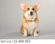 Собака вельш корги пемброк на сером фоне в студии. Стоковое фото, фотограф Несветаев Евгений / Фотобанк Лори