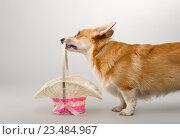 Собака вельш корги пемброк с корзиной на сером фоне в студии. Стоковое фото, фотограф Несветаев Евгений / Фотобанк Лори