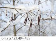 Купить «Серёжки ольхи зимой», эксклюзивное фото № 23494435, снято 24 января 2016 г. (c) Елена Коромыслова / Фотобанк Лори