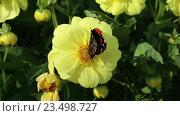Купить «Дневная бабочка Адмирал (Red Admiral, Vanessa atalanta) на желтом цветке георгина», видеоролик № 23498727, снято 28 августа 2016 г. (c) Сергей Дубров / Фотобанк Лори
