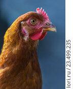 Купить «Портрет коричневой курицы на синем фоне», фото № 23499235, снято 22 мая 2016 г. (c) Абрамова Ксения / Фотобанк Лори