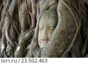 Купить «АЮТТХАЯ, Таиланд - Август 2016: Голова Будды статуя в корнях деревьев в храме Wat Mahathat, Аюттхая, Таиланд», фото № 23502463, снято 30 августа 2016 г. (c) Natalya Sidorova / Фотобанк Лори
