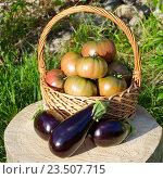 Купить «Урожай помидоров и баклажанов», фото № 23507715, снято 28 августа 2016 г. (c) Елена Коромыслова / Фотобанк Лори