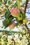 Яблоки на дереве, фото № 23520419, снято 28 августа 2016 г. (c) Юлия Кузнецова / Фотобанк Лори