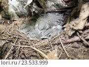 Купить «Трясогузка белая. White Wagtail (Motacilla alba).», фото № 23533999, снято 9 июля 2016 г. (c) Василий Вишневский / Фотобанк Лори
