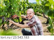 Купить «Mature man picking ripe grapes on vineyard», фото № 23543183, снято 16 февраля 2019 г. (c) Яков Филимонов / Фотобанк Лори