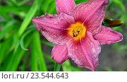 Купить «Красивая розовая лилия в каплях воды после дождя», видеоролик № 23544643, снято 12 июля 2016 г. (c) Володина Ольга / Фотобанк Лори