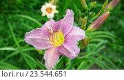 Купить «Красивые розовые лилии в каплях воды после дождя», видеоролик № 23544651, снято 12 июля 2016 г. (c) Володина Ольга / Фотобанк Лори