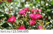 Купить «Обильно цветущий куст розовых роз», видеоролик № 23544695, снято 8 июля 2016 г. (c) Володина Ольга / Фотобанк Лори