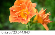 Купить «Оранжевая лилия на клумбе в саду крупным планом», видеоролик № 23544843, снято 12 июля 2016 г. (c) Володина Ольга / Фотобанк Лори