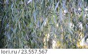 Купить «Ветви плакучей ивой крупным планом», видеоролик № 23557567, снято 10 августа 2016 г. (c) Володина Ольга / Фотобанк Лори