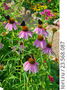 Купить «Эхинацея пурпурная (лат. Echinacea purpurea) в саду», эксклюзивное фото № 23568087, снято 30 июля 2016 г. (c) Елена Коромыслова / Фотобанк Лори