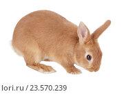 Купить «Карликовый кролик, изолировано на белом фоне», фото № 23570239, снято 9 апреля 2016 г. (c) Игорь Долгов / Фотобанк Лори