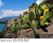Купить «Цветущая опунция на скальном крымских гор», фото № 23570567, снято 10 июня 2016 г. (c) Вячеслав Палес / Фотобанк Лори