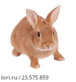 Купить «Карликовый кролик, изолировано на белом фоне», фото № 23575859, снято 9 апреля 2016 г. (c) Игорь Долгов / Фотобанк Лори