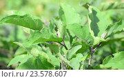 Купить «Leaves of Eggplant growing in the garden», видеоролик № 23578607, снято 29 июля 2016 г. (c) Володина Ольга / Фотобанк Лори