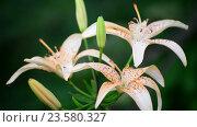 Купить «Beautiful pink lilies in a garden on flowerbed», видеоролик № 23580327, снято 6 июля 2016 г. (c) Володина Ольга / Фотобанк Лори