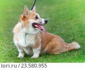 Купить «Щенок вельш-корги на зеленой траве», фото № 23580955, снято 7 мая 2016 г. (c) Юлия Кузнецова / Фотобанк Лори