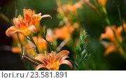 Купить «Beautiful orange lily against backlight», видеоролик № 23581891, снято 5 июля 2016 г. (c) Володина Ольга / Фотобанк Лори