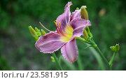 Купить «Light purple daylily in garden», видеоролик № 23581915, снято 5 июля 2016 г. (c) Володина Ольга / Фотобанк Лори