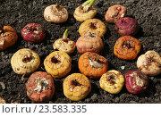 Разноцветные луковицы гладиолусов перед посадкой. Стоковое фото, фотограф Ирина Горбачева / Фотобанк Лори