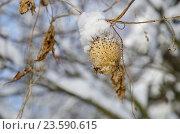 Купить «Зимний фон. Эхиноцистис лопастный, колючеплодник лопастный (лат. Echinocystis lobata) под снегом», фото № 23590615, снято 24 января 2016 г. (c) Елена Коромыслова / Фотобанк Лори