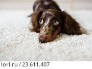 Купить «Собака такса», фото № 23611407, снято 1 июля 2015 г. (c) Екатерина Куракина / Фотобанк Лори