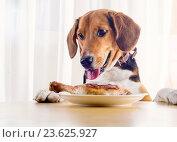 Купить «Beagle dog looking to roasted chicken leg», фото № 23625927, снято 22 июля 2016 г. (c) Tatjana Baibakova / Фотобанк Лори